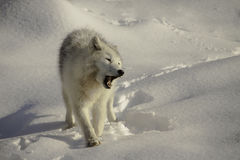 Arctic wolf growling on snow Royalty Free Stock Photos