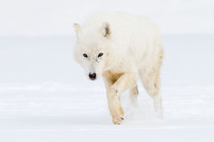 Arctic wolf on hunt. In freezing conditions stock photography