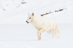 Arctic wolf on hunt Royalty Free Stock Image