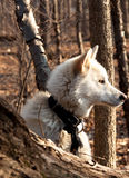 Arctic wolf. Hybrid gazing into the forest royalty free stock photography