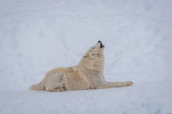 Arctic Wolf In The Snow. Royalty Free Stock Photos