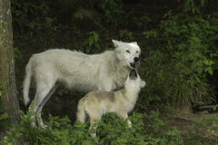 An Arctic Wolf and its cub Royalty Free Stock Photos