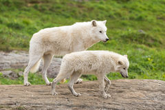 An Arctic Wolf in its natural setting. In the fall stock photos