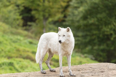 An Arctic Wolf in its natural setting. In the fall royalty free stock image