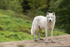 An Arctic Wolf in its natural setting. In the fall stock image
