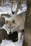 Arctic Wolf IV Stock Photography