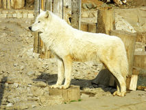 Arctic Wolf. In Izhtvsk Zoo Royalty Free Stock Images