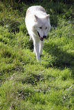 Arctic wolf portrait Stock Images