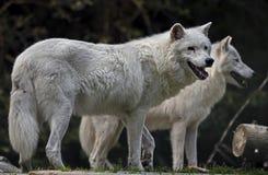 Arctic wolf 2 Stock Image