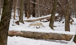 An Arctic Wolf laying in the snowy forest royalty free stock images