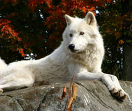 Arctic Wolf Laying On A Rock Stock Photo