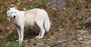 Arctic Wolf Looking Back on a Fall Day Stock Photos