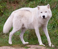 Arctic Wolf Looking at the Camera Royalty Free Stock Image