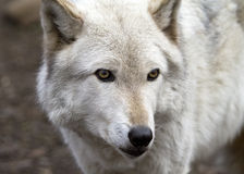 Arctic wolf on the lookout Stock Photography