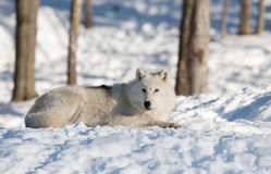 A lone Arctic wolf (Canis lupus arctos) lying in the snow in winter in Canada royalty free stock images