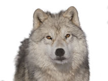 Arctic wolf male head-shoot over white background. In winter royalty free stock image