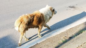 Arctic wolf mix street dog. Brown and white color walking on the road alone in Bangbuathong Thailand, Has copy space, Photo speed shutter focus select at center royalty free stock image