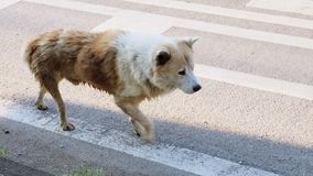 Arctic wolf mix street dog side view and walking alone Stock Photography