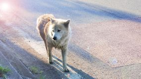 Arctic wolf mix street dog in Thailand has copy space. Arctic wolf mix street dog in Bangbuathong Thailand walking on the road alone, Photography lens flare stock photo
