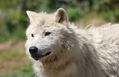 Arctic wolf in nature Royalty Free Stock Photo