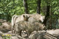 Arctic wolf pack Royalty Free Stock Images