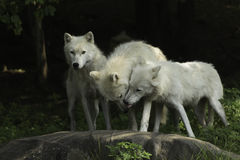 An Arctic Wolf pack in a forest Royalty Free Stock Images