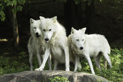 An Arctic Wolf pack in a forest Royalty Free Stock Photo