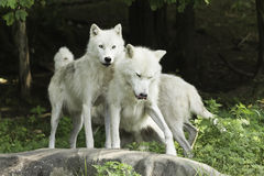 An Arctic Wolf pack in a forest Royalty Free Stock Photography