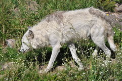 Arctic Wolf. Picture of an arctic wolf near Yellowstone with its winter coat shed Royalty Free Stock Photo