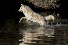 Arctic Wolf. An Arctic Wolf plays around near an icy pond in a snowy forest hunting for prey Stock Images