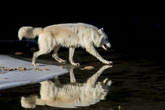 Arctic Wolf Stock Photography