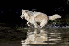 Arctic Wolf. An Arctic Wolf plays around near an icy pond in a snowy forest hunting for prey royalty free stock photography