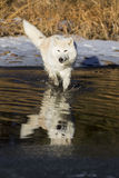 Arctic Wolf. An Arctic Wolf plays around near an icy pond in a snowy forest hunting for prey stock image