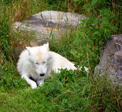 Arctic Wolf. Or Polar White Wolf, is a subspecies of the Gray Wolf, a mammal of the family Canidae. Arctic Wolves inhabit the Canadian Arctic, Alaska and Royalty Free Stock Images