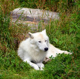 Arctic Wolf. Or Polar White Wolf, is a subspecies of the Gray Wolf, a mammal of the family Canidae. Arctic Wolves inhabit the Canadian Arctic, Alaska and Stock Images
