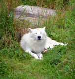 Arctic Wolf. Or Polar White Wolf, is a subspecies of the Gray Wolf, a mammal of the family Canidae. Arctic Wolves inhabit the Canadian Arctic, Alaska and Stock Photography