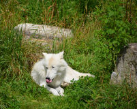 Arctic Wolf. Or Polar White Wolf, is a subspecies of the Gray Wolf, a mammal of the family Canidae. Arctic Wolves inhabit the Canadian Arctic, Alaska and Stock Photos