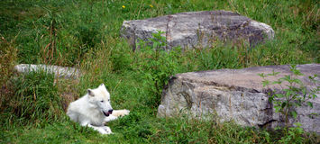 Arctic Wolf. Or Polar White Wolf, is a subspecies of the Gray Wolf, a mammal of the family Canidae. Arctic Wolves inhabit the Canadian Arctic, Alaska and Royalty Free Stock Photo