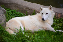 Arctic Wolf. Or Polar White Wolf, is a subspecies of the Gray Wolf, a mammal of the family Canidae. Arctic Wolves inhabit the Canadian Arctic, Alaska and Stock Image