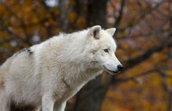 Arctic wolf portrait Royalty Free Stock Photo