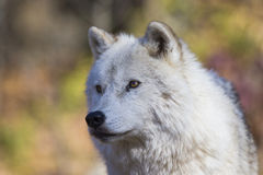 Arctic wolf portrait Royalty Free Stock Photography