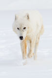 Arctic wolf portrait. In vertical format Royalty Free Stock Photo