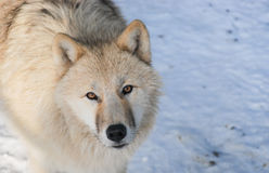 Arctic wolf portrait. In winter Stock Photos