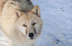 Arctic wolf portrait Stock Photos
