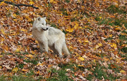 Arctic wolf pup Royalty Free Stock Image