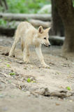 Arctic wolf pup Royalty Free Stock Photography