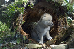 Arctic Wolf Pup. Cute little Arctic Wolf pup standing in a hollow log Royalty Free Stock Images