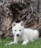 Arctic wolf pup Stock Photos