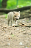 Arctic wolf puppy. In forest Royalty Free Stock Image