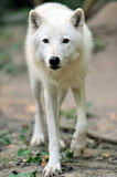 Arctic wolf puppy Stock Photography